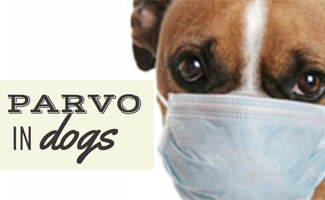 Parvovirus In Wagin